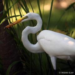 IMG_3334GreatEgretandLizard Great Egret