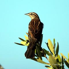 IMG_3453ImmatureRed-wingedBlackbird
