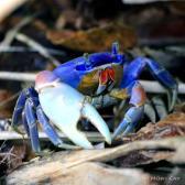 IMG_4603BlueLandCrab