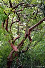 IMG_0537GumboLimboTrees