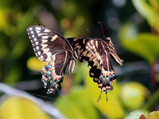 IMG_5351SwallowtailButterfliesMating