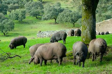 black footed pigs jamon iberico