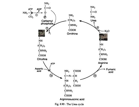 Urea Cycle Notes on Urea Cycle Zoology - urea cycle