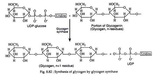 Process of Glycogenesis (With Diagram) Biochemistry