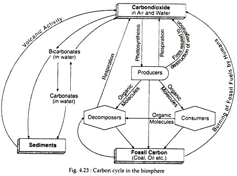 Carbon Cycle (With Diagram) Ecology