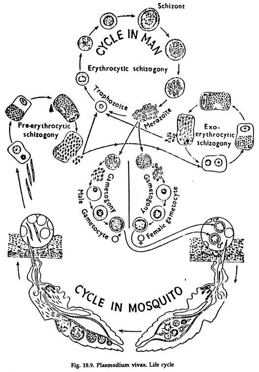 diagram of protozoa