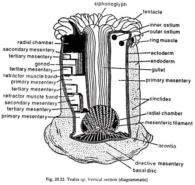 diagram of mesentery
