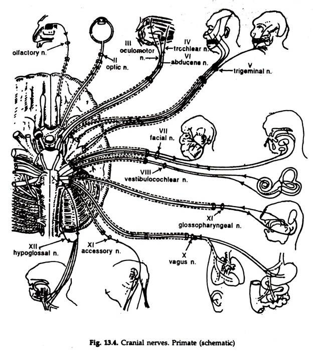 Peripheral Nervous System (With Diagram) Animals