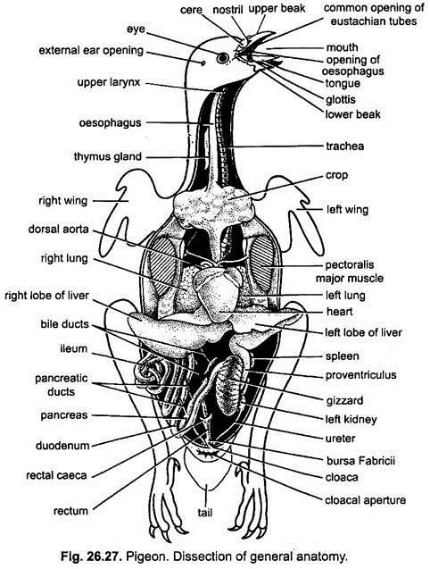pigeon heart bird heart diagram
