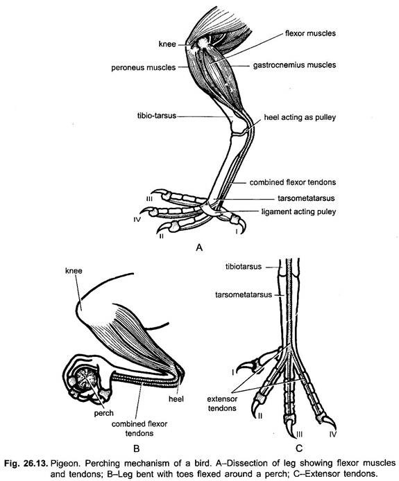 the muscles around knee diagram