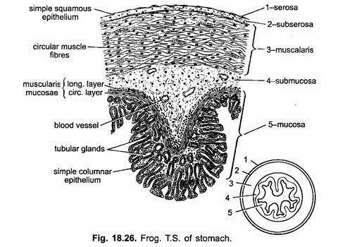 stomach diagram labelled