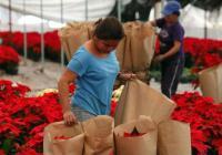 #QuintanaRoo es un gran consumidor de nochebuena