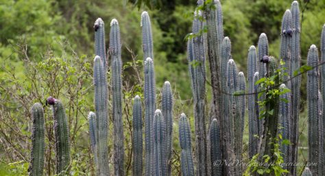 A stand of cactus, waiting for the birds to arrive.