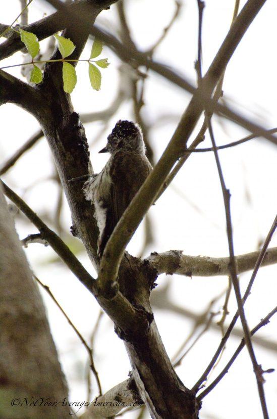 Ecuadorian Picolet