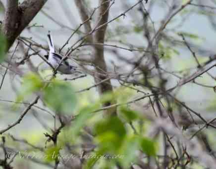 A Tropical Gnatcatcher.