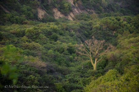 A lone Ceiba tree in the dry tropical forest that fills the mountains behind Chirije.