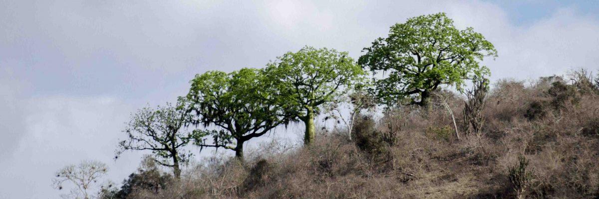 Ceibo Trees