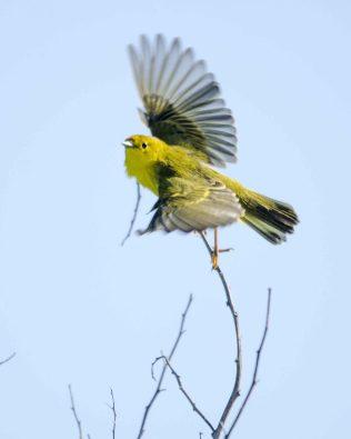 Puerto Chino, Yellow Warbler