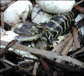 Photograph showing alligator hatchling and eggs