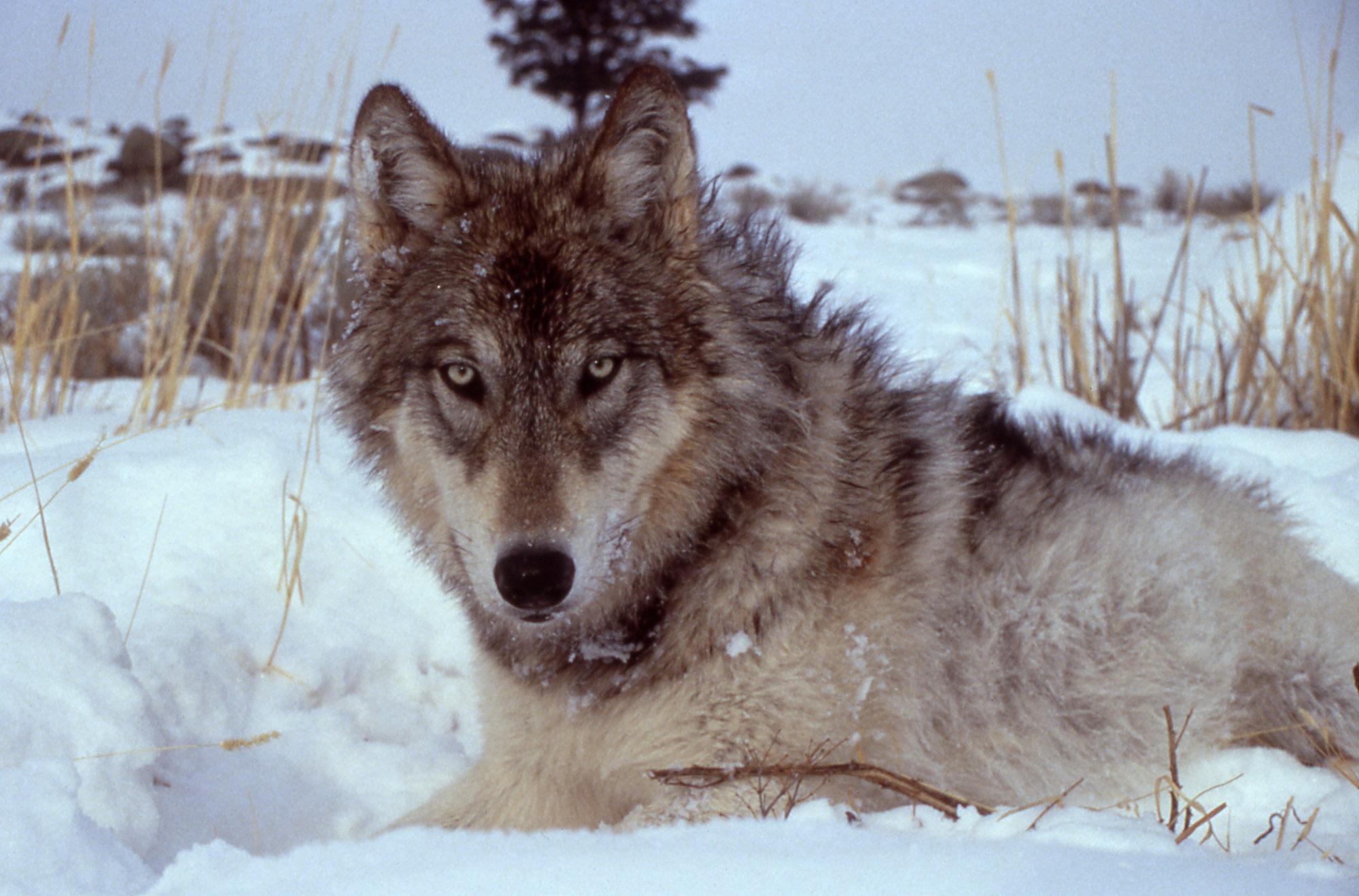 Classy Druid Wolf Pack Backpacker Alpha Wolf Names Female Indian Wolf Names Female Image Credit Doug Death bark post Wolf Names Female