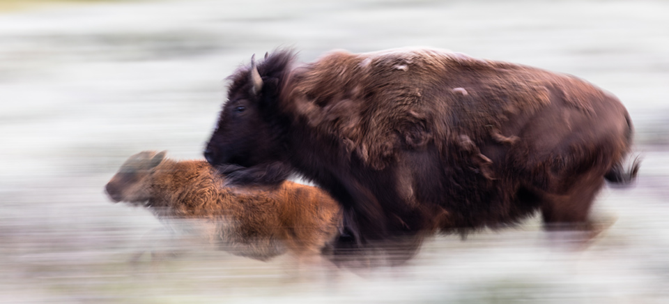3d Wallpaper Cowboys Frequently Asked Questions Bison Yellowstone National