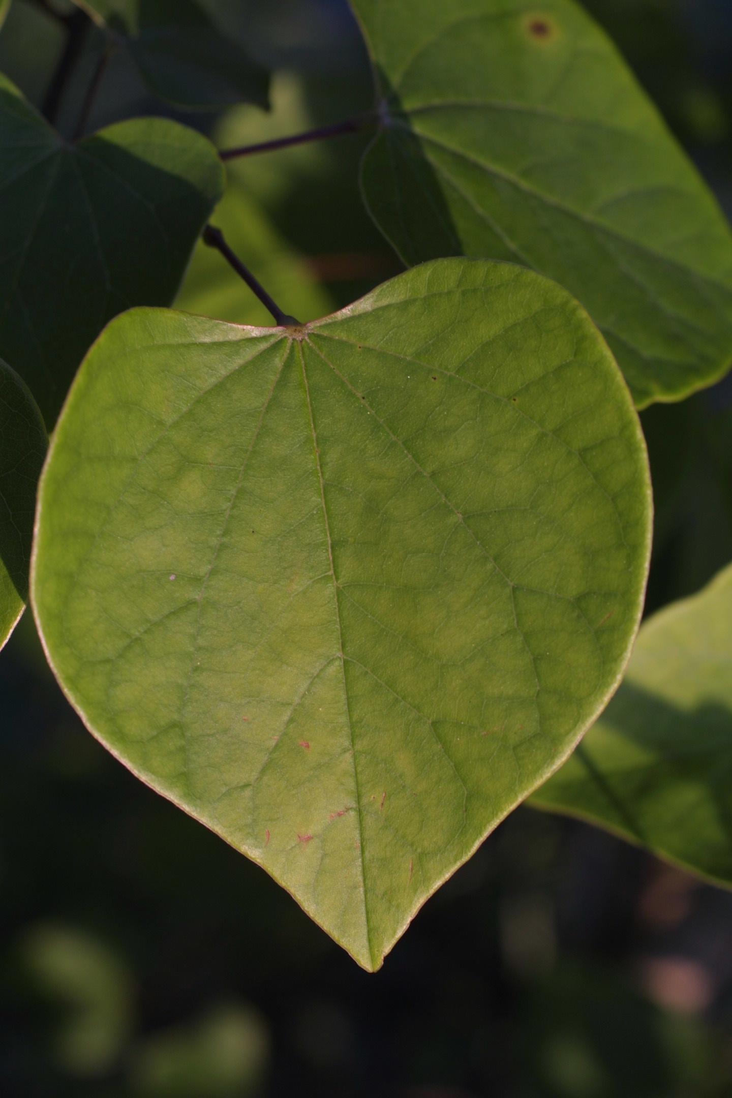 Fullsize Of Redbud Tree Leaves