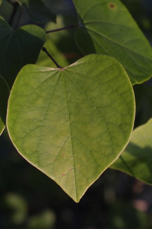 Medium Of Redbud Tree Leaves
