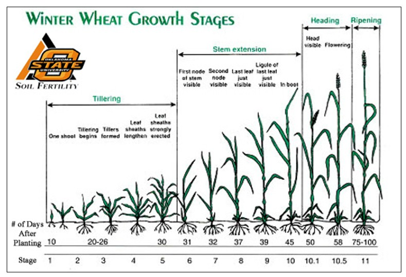 Nitrogen Uptake in Corn and Wheat, nitrogen use efficiency