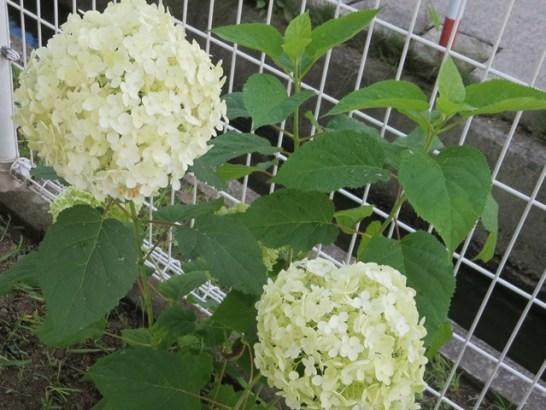我が家に咲く「アナベル」。こ選挙戦もんな風に花咲きたいものです