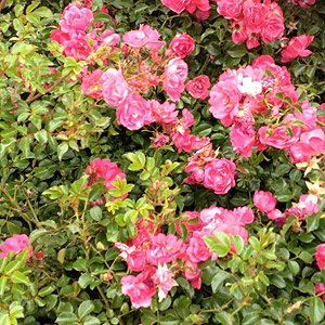 Carpet Roses A Flowering Ground Cover Nurseries Online