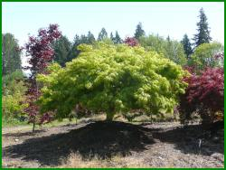 Small Of Green Japanese Maple