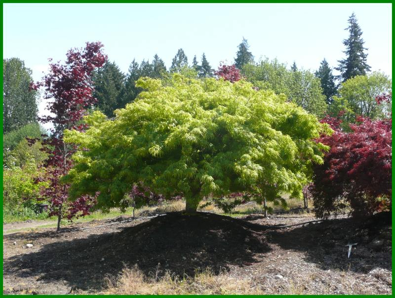 Large Of Green Japanese Maple