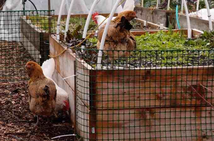 Chickens in Arugula