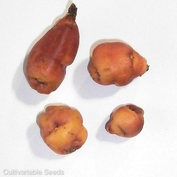 Mashua Orange Tubers