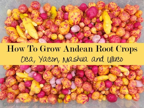 Andean Root Vegetables for the Pacific Northwest and Beyond