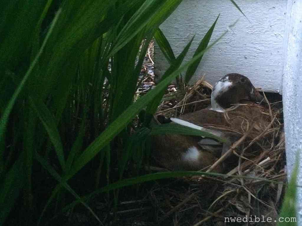 Duck Nest88