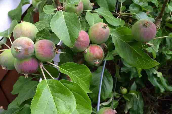 Mature espalier apples are very reliable for us.