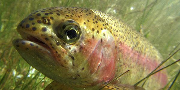 Rainbow Trout and Steelhead National Wildlife Federation