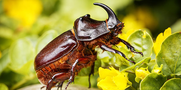 Rhinoceros Beetles National Wildlife Federation
