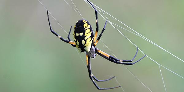 Yellow Garden Spider National Wildlife Federation
