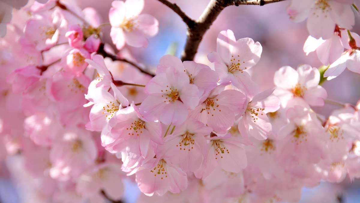 Cute Girl Hd Wallpaper For Laptop Japanese Cherry Blossom Festivals