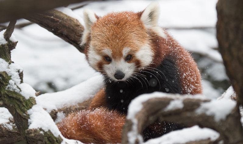 Hd Cute Panda Wallpaper Cute Zoo Animals To See This Winter Nyc Parks