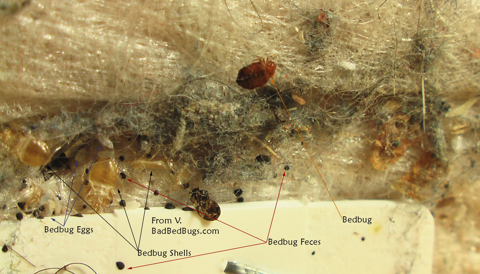 Black Mold Under Wallpaper Bed Bug Eggs In Carpet Bangdodo