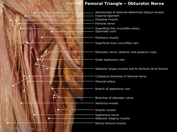 Modern Anatomy Femoral Triangle Composition Anatomy And Physiology