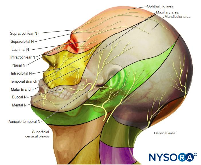 Nerve Blocks of the Face - NYSORA