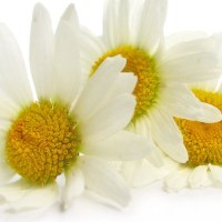 Chamomile Tea, the Secret to Soothing Upset Stomach