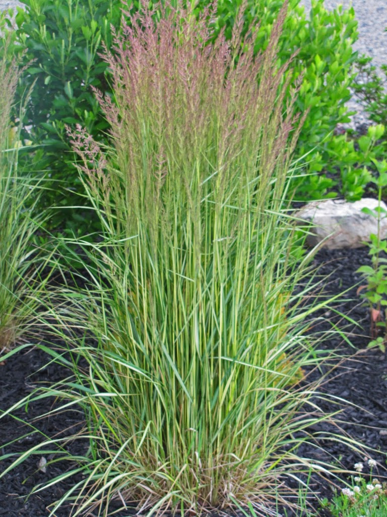Calamagrostis feather reed grass 39 el dorado 39 the for Tall ornamental grasses for sun