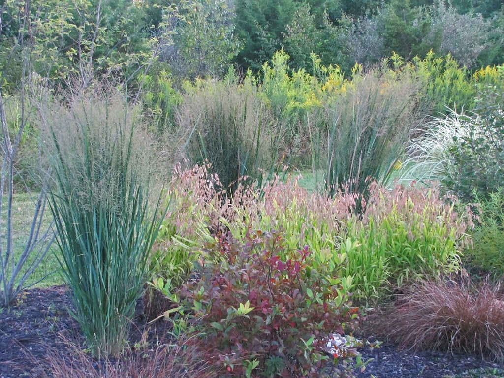Panicum 39 northwind 39 the obsessive neurotic gardener for Ornamental sea grass