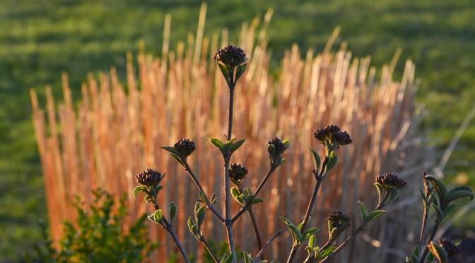 viburnum-blooms