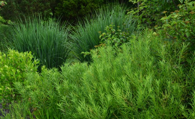amsonia and panicum